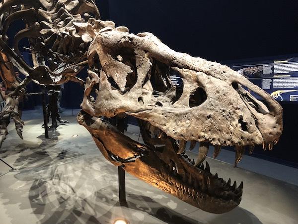 Ne manquez pas Trix, le véritable Tyrannosaure-Rex exposé à Paris !